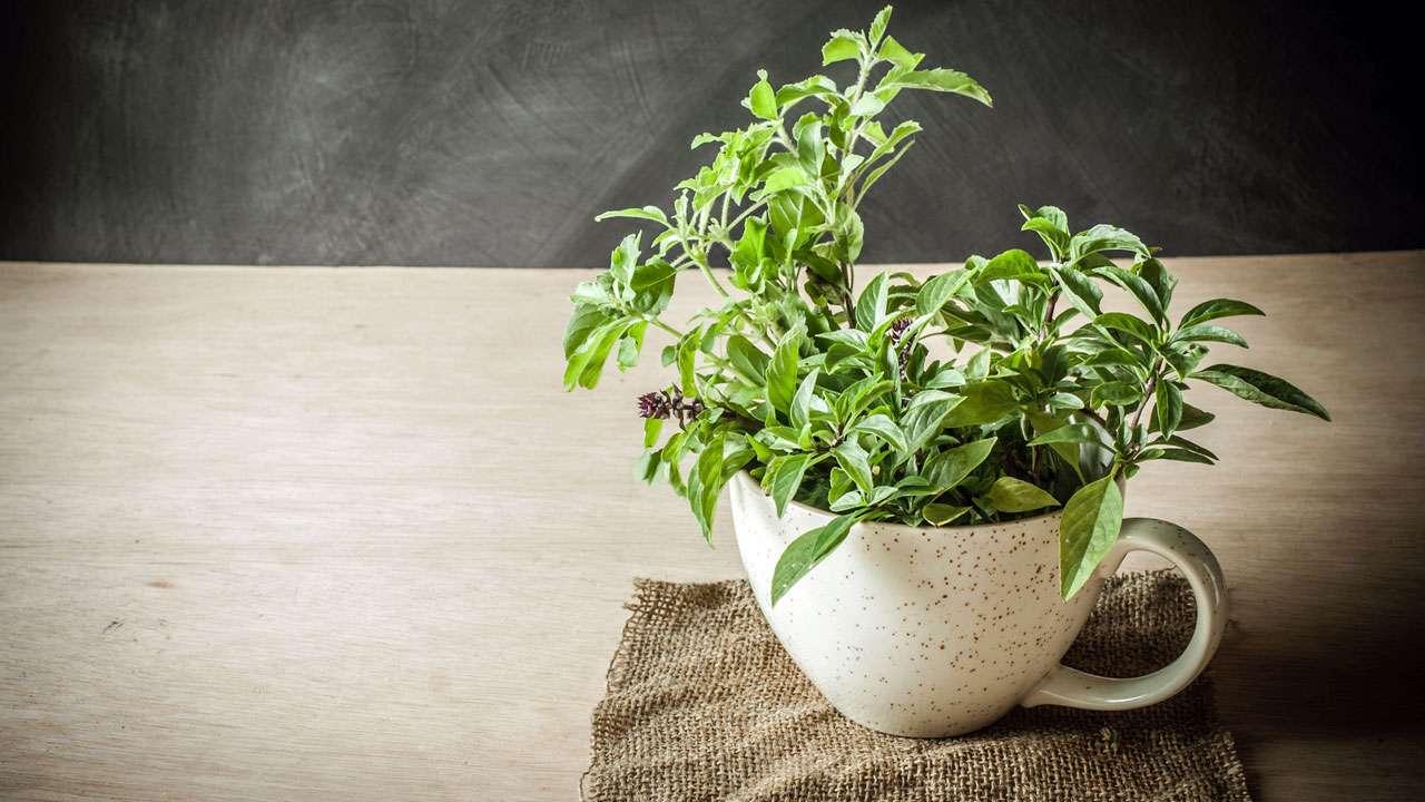 Tulsi, Tasse, Pflanze, heiliges Basilikum